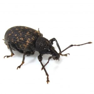 Even Weevils are eradicated by Pest Control  expert stored product specialists.