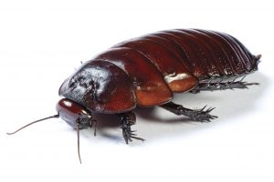 Cockroach Control Cape Town deal with an array or Insect Pests, including non-pest Cockroaches.
