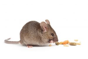 Mouse Control  identify any ground dwelling mammals and treat them if nessesary.