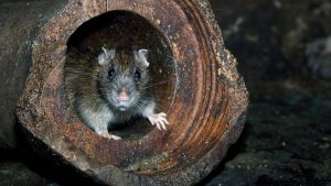 Rat Control Cape Town deal with any and all species of Rats, Mice and Rodents.