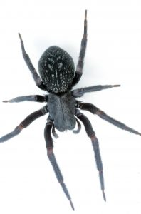 Spider Control Electric City deal with Black House Spiders