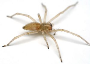Crawling Insect Control Wynberg deal with the dangerous Yellow Sac Spiders successfully.