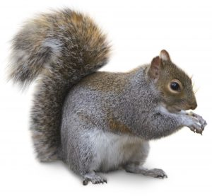 Squirrel Control Cape Town exterminate Rodents from all areas without a hitch.