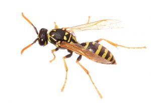 Wasp Control Gardens even exterminate aggressive social Wasps such as European Wasps.