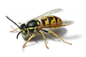Wasp Control Gardens have the knowledge and personal protective clothing to tackle even the aggressive German Wasp.
