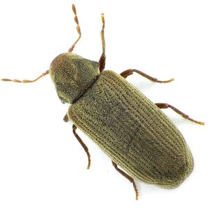 Wood Borer Zonnebloem deal with Common Furniture Beetle successfully by using Methyl Bromide gas.