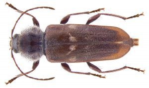 Wood Borer Strandfontein Beal with any Wood Destroying beetle, even the Italian Beetle / Old Bouse Borer