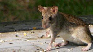 Johannesburg Pest Control are exterminaors that handle Rat Infestations Cape Town.