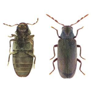 Anobium punctatum are one of many beetles covered by our inspection for Certificate of Compliance Lakeside.