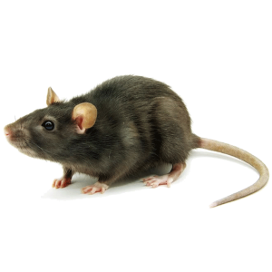 Black Rat Control Rugby in the roof of your home or office supplied by Cape Town Pest Control