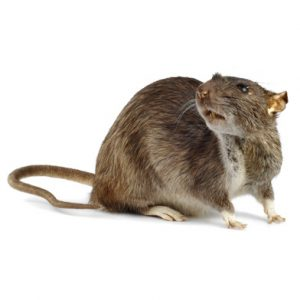 Brown Rat Control Meadowridge is another quality guaranteed service by Cape Town Pest Control
