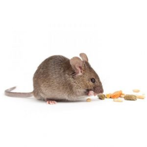 Field Mice as well as Domestic MIce are commonly treated by our experts here at Mouse Control Cape Town, we limit the spread of disease and the potential damage Mice can casue to stored products. VerminX Cape Town Pest Control have your solution.