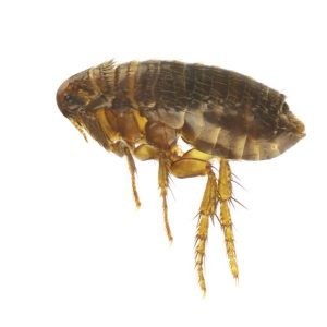 Dog Flea Control  helps protect your Dogs against a Flea Infestation. Cape Town Pest Control are Biting Insect Experts