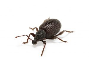 Weevil Control  are the stored product Pest Control Experts here in the Western Cape. Cape Town Pest Control are a cut above the rest.