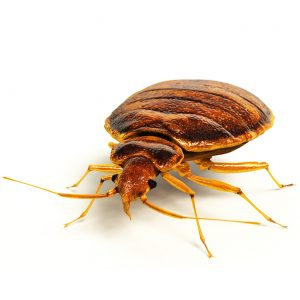 Bed Bug Control Cape Town are the industry leaders in Biting Insect Exterminations. Safer and more effective eradications are only a call away. Contact VerminX Cape Town Pest Control for a free quotation.