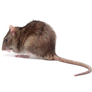 Rat Control Cape Town are leaders in our field. With advanced eradication tecniques we provide a safer yet more effective service to our clients. VerminX are your local Cape Town Pest Control experts.